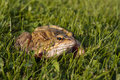 Common frog closeup on grass Royalty Free Stock Photography