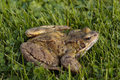 Common frog on grass Stock Photography