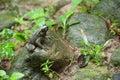 Common Frog Macro, Portrait In...