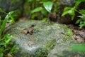Common Frog Macro,portrait In ...
