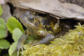 Common Frog - Rana temporaria Royalty Free Stock Photos