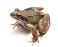 Common frog (Rana temporaria) Royalty Free Stock Photo