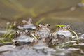 Common frog (Rana temporaria) Royalty Free Stock Photo