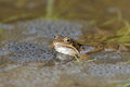 Common frog rana temporaria during breeding season the male of the shows the nuptial pad white throat and a blue grey hue over the Royalty Free Stock Image
