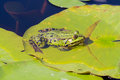 Common frog rana temporaria in a pond Stock Photo