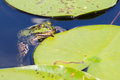 Common frog rana temporaria in a pond Royalty Free Stock Images