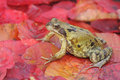 Common frog rana temporaria single on red autumn leaves Royalty Free Stock Images