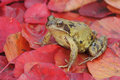 Common frog rana temporaria single on red autumn leaves Stock Photos