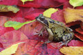 Common frog rana temporaria single on red autumn leaves Stock Photo
