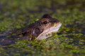 Common frog a rana temporaria surfaces through pondweed Stock Photography