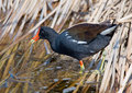 Common Gallinule Stock Photo