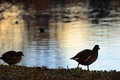 Common gallinule in the lake backlit Royalty Free Stock Photography