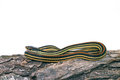 Common garter snake thamnophis sirtalis against white background Stock Photography