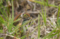 Common garter snake thamnophis sirtalis in grass Royalty Free Stock Photography