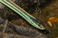Common garter snake thamnophis sirtalis outstretched on rocks green and yellow stripes Stock Images