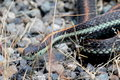 Common garter snake a in western washington Stock Photography