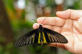 Common golden bird wing butterfly hanging on hand open Royalty Free Stock Photo
