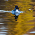 Common Goldeneye, Bucephala clangula Royalty Free Stock Photos