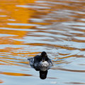 Common Goldeneye, Bucephala clangula Royalty Free Stock Images