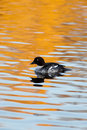 Common Goldeneye, Bucephala clangula Royalty Free Stock Photography