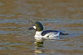 Common Goldeneye (Bucephala clangula) Royalty Free Stock Photos