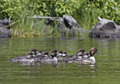 Common goldeneye duck with babies mother bucephala clangula floating on water Stock Photos