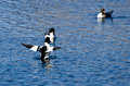 Common goldeneye duck with wings outstretched while on lake Stock Photo