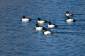 Common goldeneye ducks swimming on the water blue Stock Images