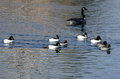 Common goldeneye ducks swimming on the water flock of Royalty Free Stock Image
