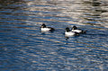 Common goldeneye ducks swimming on the water three male Stock Photo