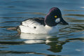 Common goldeneye male swimming in the open water Stock Photo