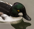 Common goldeneye swimming in lake close up side profile Stock Photography