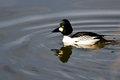 Common goldeneye swimming in the lake male Royalty Free Stock Image