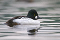 Common goldeneye water Royalty Free Stock Photos