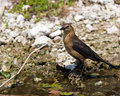 Common Grackle (Female) Royalty Free Stock Images