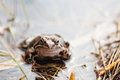 Common grass frog rana temporaria in the spring Royalty Free Stock Photography