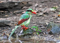 Common Green Magpie Bird Stock Photography