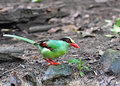 Common Green Magpie Bird Stock Photos