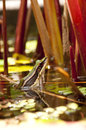 Common greenback frog is looking from water Stock Image