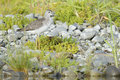 Common greenshank tringa nebularia on a pebbles riverbank Royalty Free Stock Photo