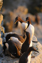 Common Guillemot Royalty Free Stock Photos