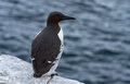 Common guillemot uria aalge bridled Royalty Free Stock Photos