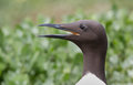 Common guillemot uria aalge bridled Stock Photos