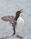 Common guillemot uria aalge bridled Stock Image