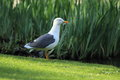 Common gull the adult standing in the grass Royalty Free Stock Photography