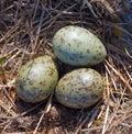 Common Gull Eggs. Royalty Free Stock Photo