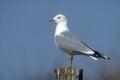 Common gull, Larus canus Royalty Free Stock Photo
