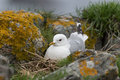 Common gull sitting on the nest Stock Photo
