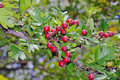 Common hawthorn crataegus monogyna fruits and foliage of Stock Photo