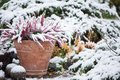 Common heather, Calluna vulgaris, in flower pot covered with snow Royalty Free Stock Photo